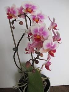 Miniature phalaenopsis