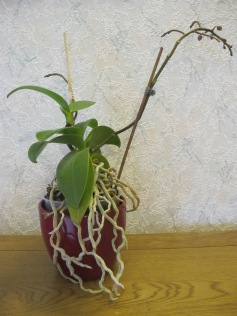 Bought with aerial roots